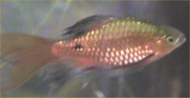 How can i euthanize an ailing and dying fish democratic for How to euthanize a fish