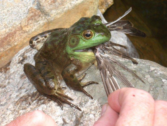 Frog eating bird - photo#14