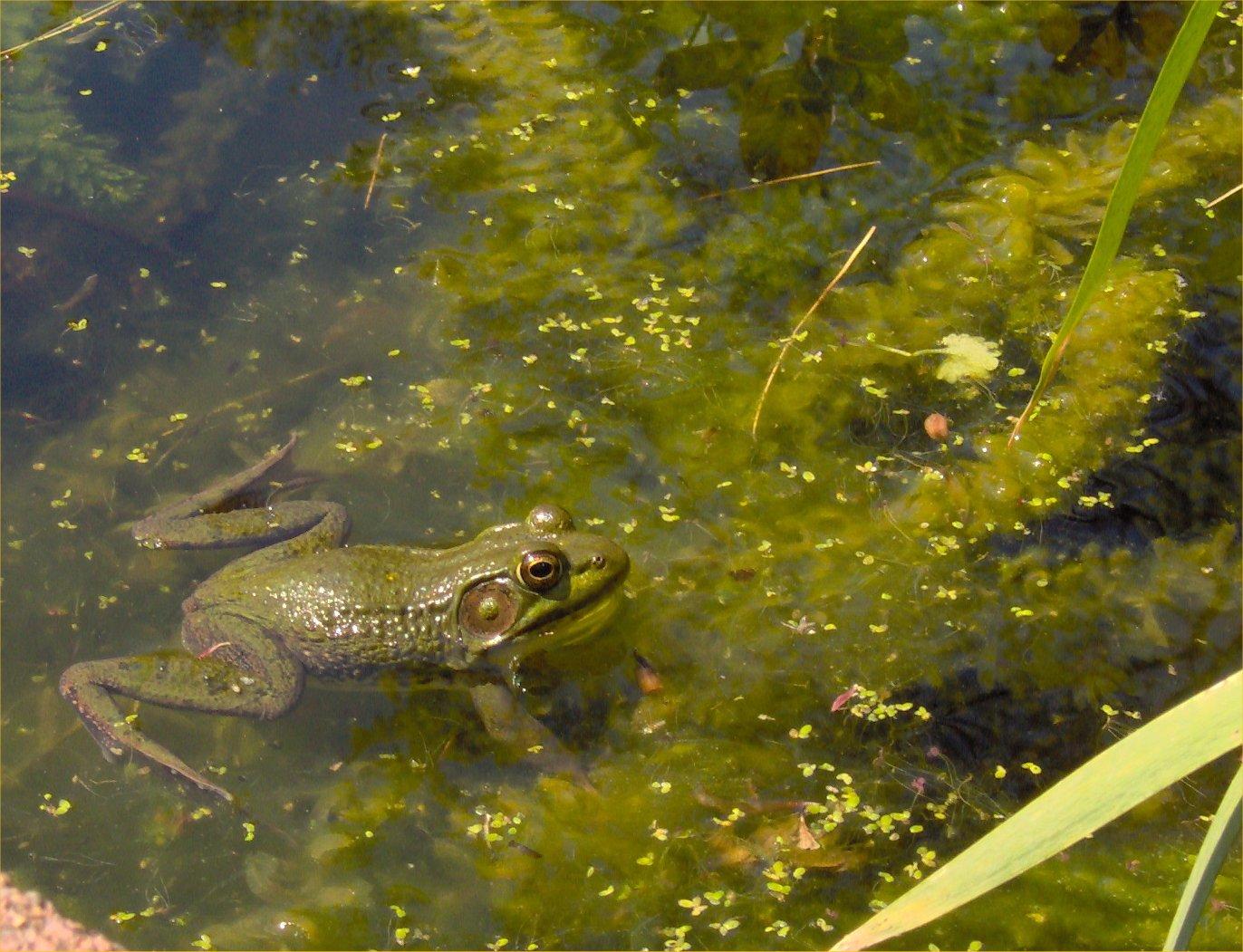 robyn u0027s green frog page