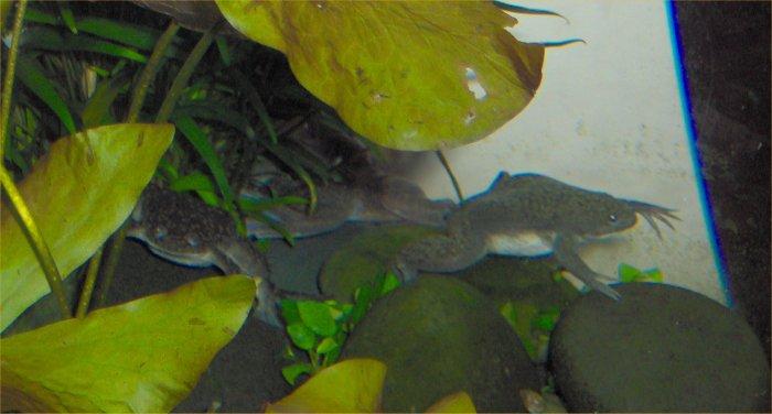 Frog Aquarium Related Keywords & Suggestions - African Dwarf Frog ...