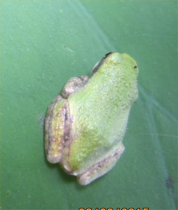Robyn's Gray Treefrog Page