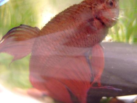 Robyn 39 s photos of fish with dropsy page for Betta fish dropsy