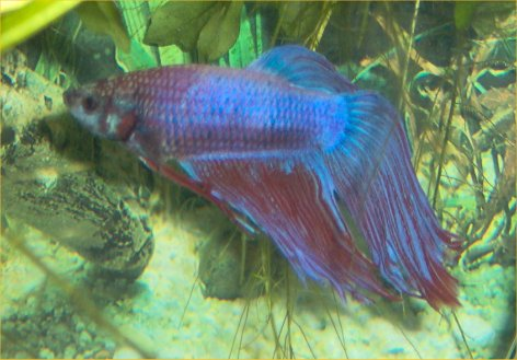 Betta fish cloudy water for Beta fish water