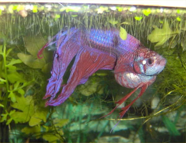 Robyn 39 s betta page for Can betta fish live with other fish