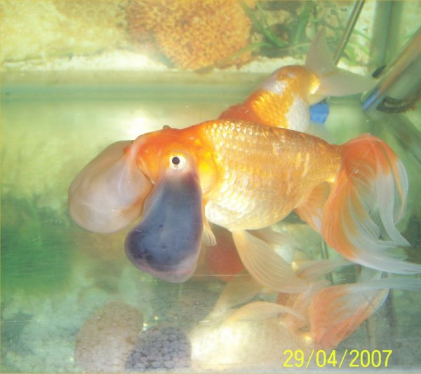 Bubble eye goldfish popped for Pesce rosso butterfly