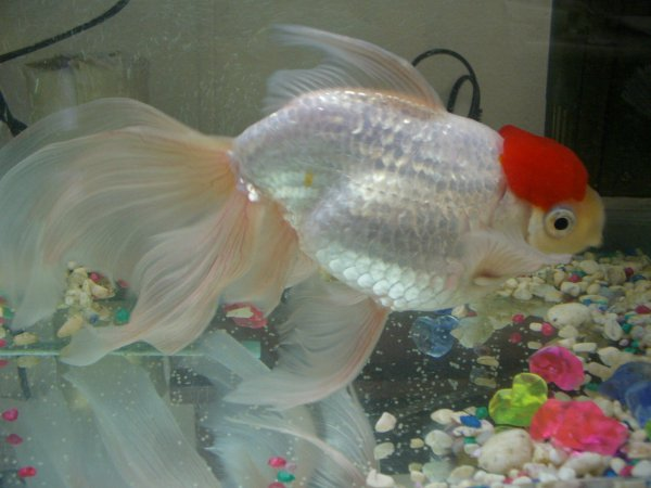 Goldfish eggs for Septicemia in fish