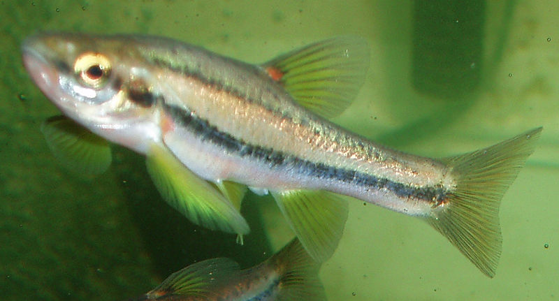 robyn s southern redbelly dace page