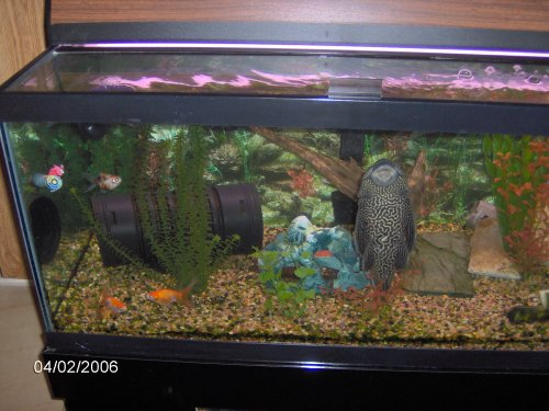 goldfish tank pictures. 40 gallon tank on 2/4/06 with