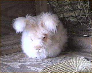 Rabbit anus hemorrhoid