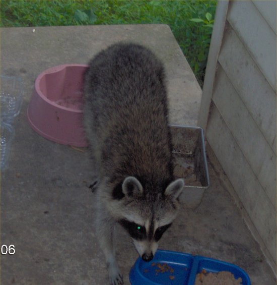 Robyn 39 s raccoon page for Do raccoons eat fish