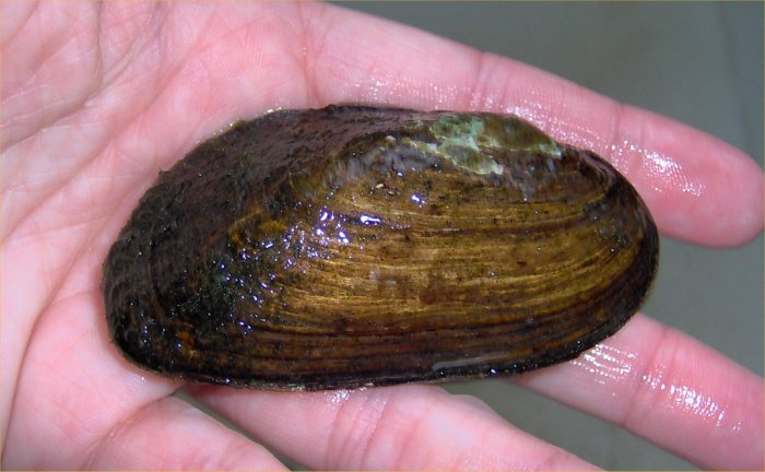 Robyn S Freshwater Bivalve Page