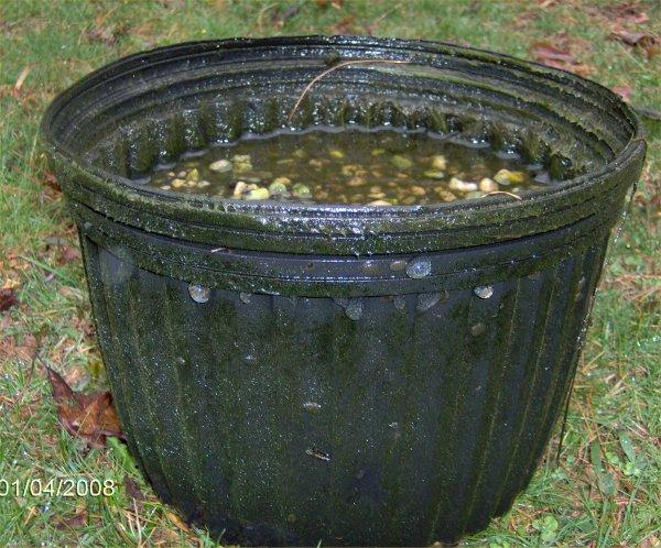 Snail eggs on a one gallon Lerio pot.