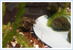 Photos of Other Peoples Trapdoor Snails