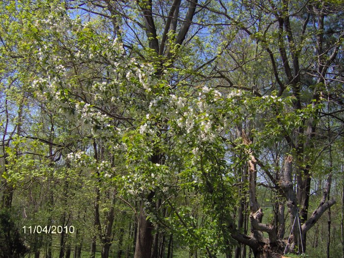 dwarf weeping cherry tree pictures. We had a weeping cherry tree