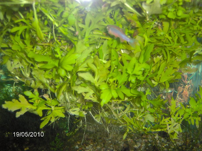 Benefits of Having Floating Aquarium Plants | TAG