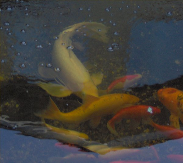 Robyn 39 s outdoor goldfish page for Koi fish head