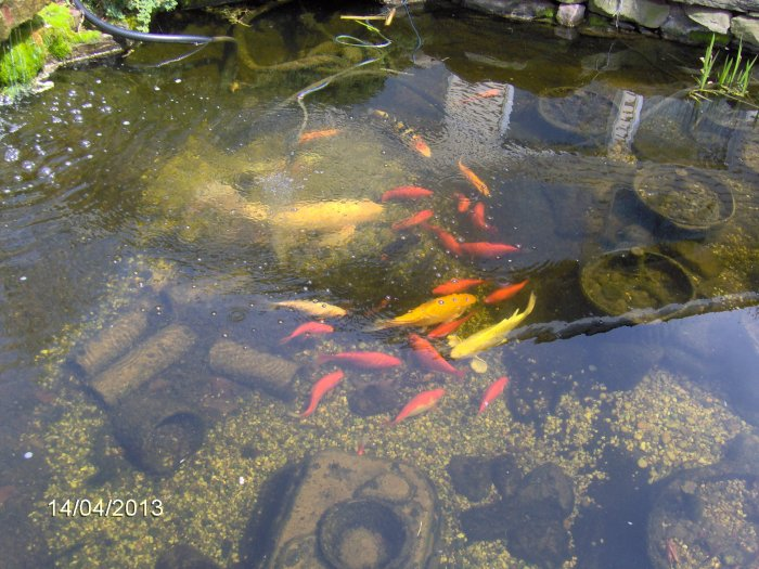 Robyn 39 s fish pond pictures page for Koi pond water murky