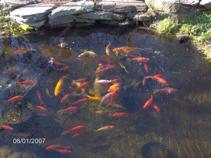 Robyn 39 S Outdoor Goldfish Page