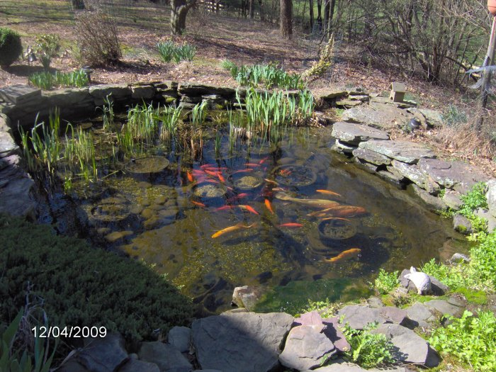 Robyn 39 s outdoor goldfish page for Fish for small outdoor pond