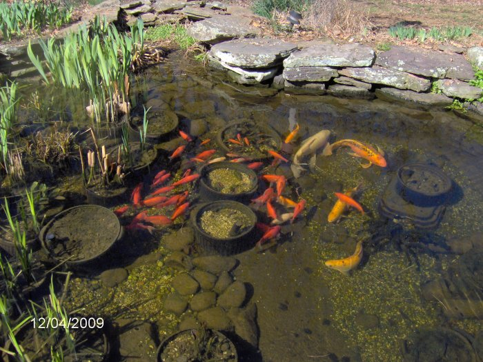 Robyn 39 s outdoor goldfish page for Goldfish pond plants