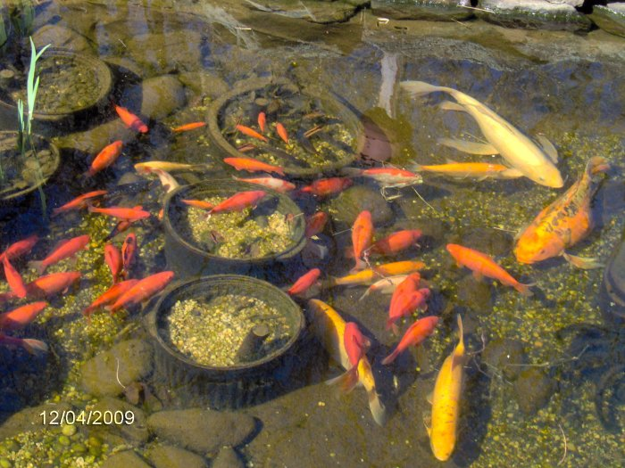 Robyn 39 s outdoor goldfish page for Best goldfish for outdoor pond