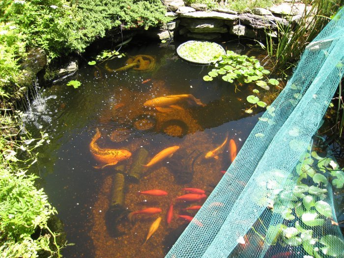 Robyn 39 s fish pond pictures page for Goldfish pond
