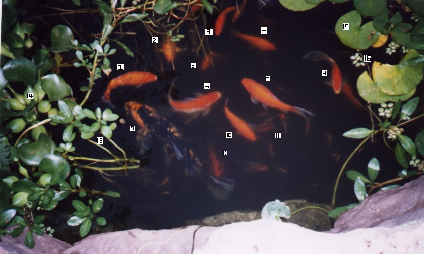 Robyn 39 s outdoor goldfish page for Outside goldfish pond