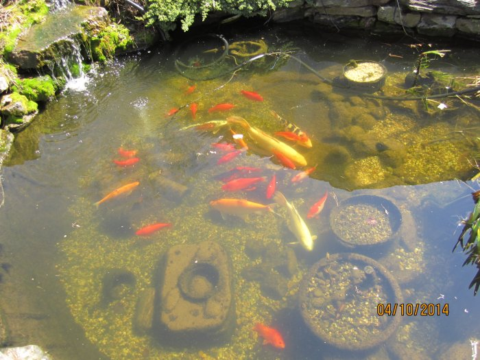 Robyn 39 s koi page for Koi fish ponds for sale