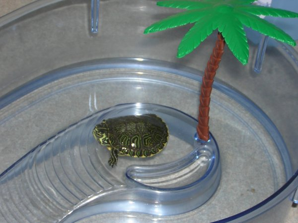 Baby turtle - top view in its setup (notan appropriate setup long term ...
