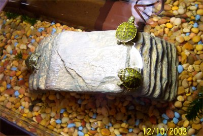 Baby Red Eared Slider Turtles Care Images & Pictures - Becuo