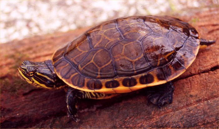 Different Types Of Freshwater Turtles Photo of a chicken turtle