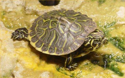 Baby Yellow Bellied Slider Turtles