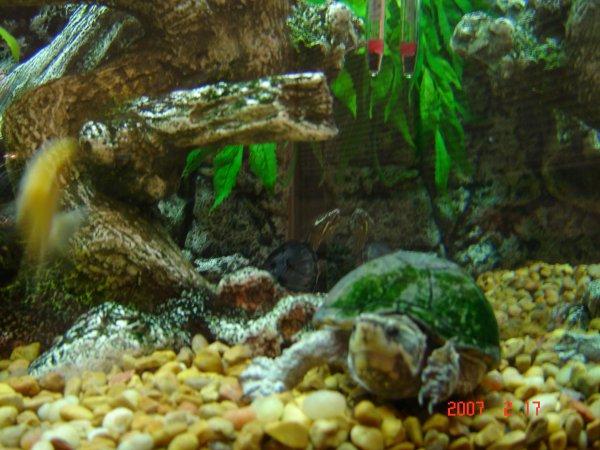Adult musk turtle - note the algae on hershell