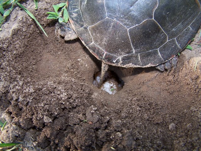 Can Painted Turtle Eggs Hatch In Water