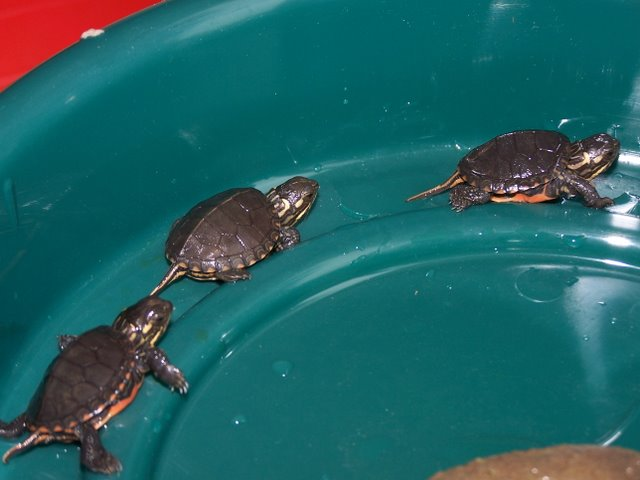 Baby Turtle Bowls For Turtles