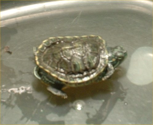 Robyn's Turtle Health Page