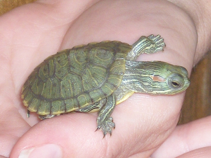 Smallest Water Turtle : Small+Water+Turtles+for+Sale Pictures Of Baby Turtles For Sale Baby ...