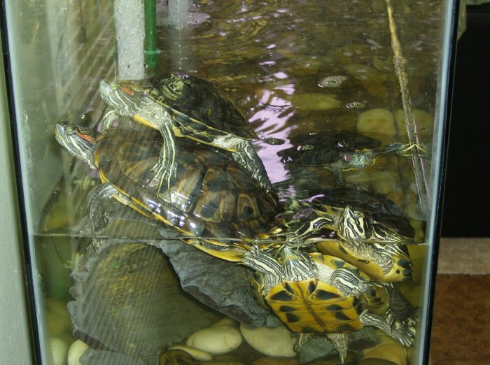 How big will my yellow bellied slider turtles get when