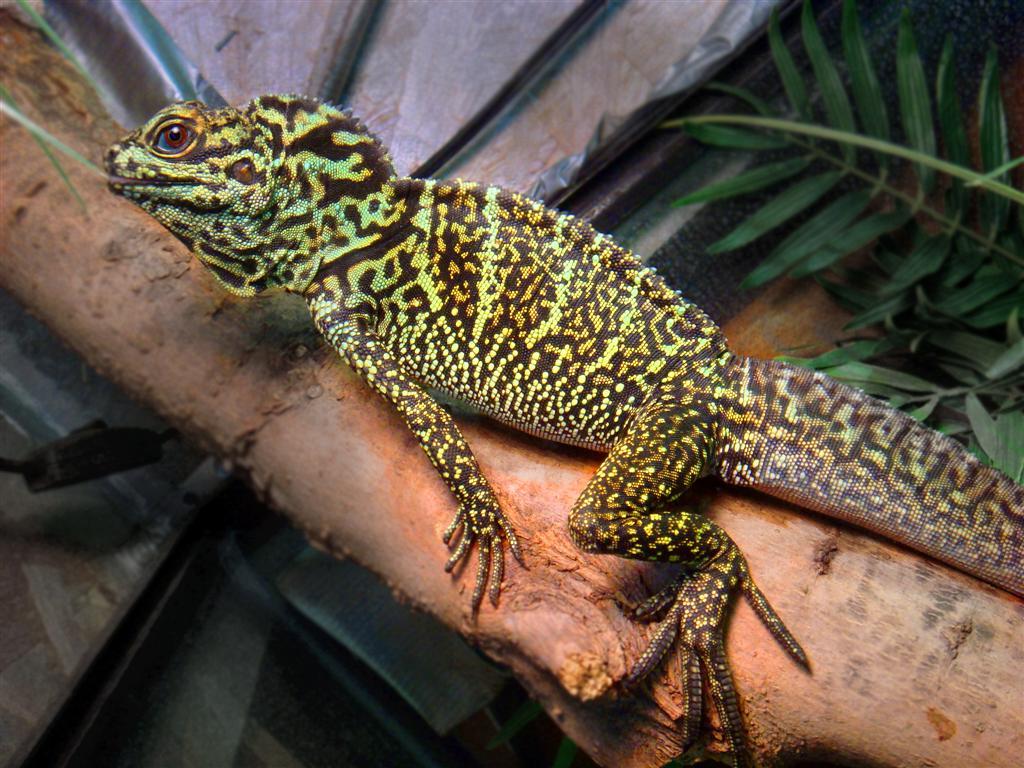 K Dragon Lizard Robyn's Sai...