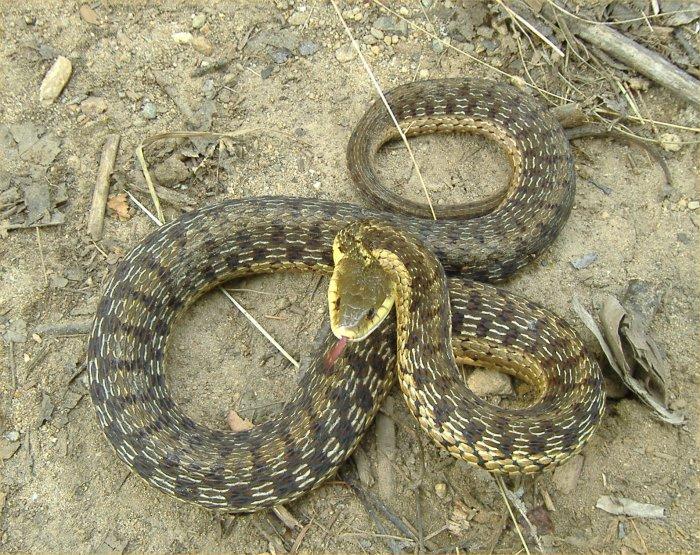 What do garden snakes eat and drink garden ftempo for What do baby garden snakes eat